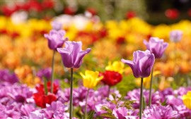 Purple tulips, spring flowers