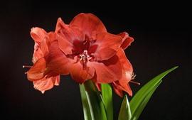 Amaryllis rojo, fondo negro