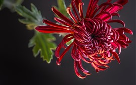 Preview wallpaper Red chrysanthemum, petals, gray background