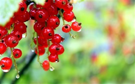 Preview wallpaper Red currants, berries, water droplets