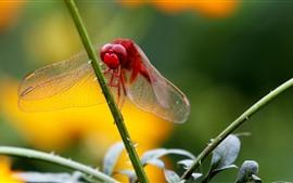 Красная стрекоза, стебель травы