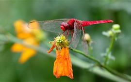 Libélula vermelha, close-up de insetos, flor amarela
