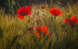 Red poppies, flowers, grass, sunlight