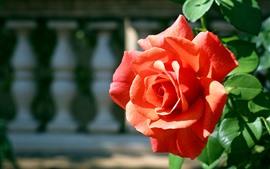 Red rose, petals, sunshine