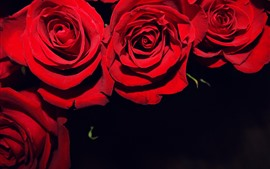 Preview wallpaper Red roses, black background
