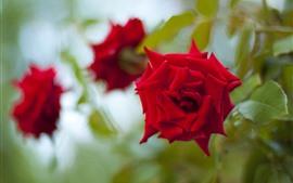 Красные розы, туманный фон