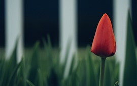 Red tulip, fence, green background