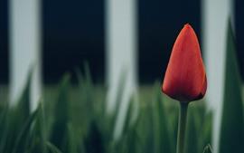 Tulipán rojo, valla, fondo verde