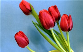 Red tulips, blue background