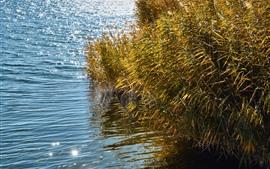 Тростник, трава, вода, озеро, сияние
