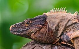Reptil, iguana, lagarto