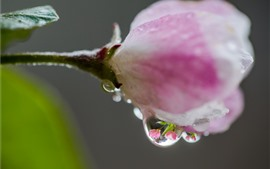 Preview wallpaper Rhododendron bud close-up, pink petals, water droplet