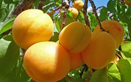 Preview wallpaper Ripe apricots, fruit