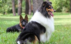 Perro pastor, perro peludo, hierba