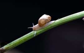 Preview wallpaper Snail, insect, black background