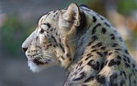 Leopardo de la nieve, vista posterior, cabeza