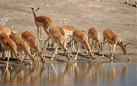 Preview wallpaper Some antelopes drink water