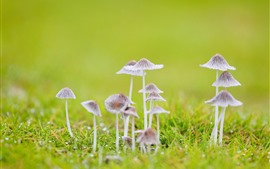 Preview wallpaper Some mushrooms, grass, green background