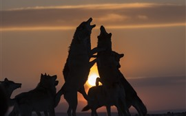 Some wolves, playful, sunset, silhouette