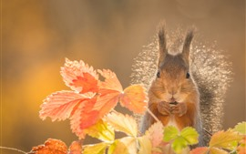 Preview wallpaper Squirrel,orange leaves, autumn
