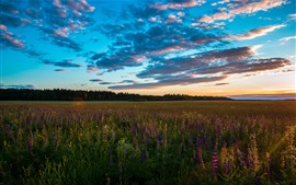 Preview wallpaper Sunset, fields, flowers, clouds, nature landscape