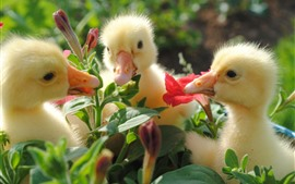 Preview wallpaper Three ducklings, cute animal