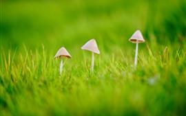 미리보기 배경 화면 세 버섯, 푸른 잔디, 봄