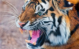 Preview wallpaper Tiger roar, teeth, mouth, face
