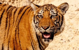 Preview wallpaper Tiger side view, face, wildlife