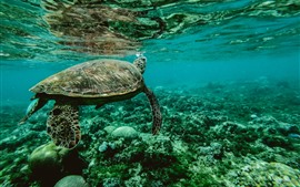 Preview wallpaper Turtle, underwater, sea animal