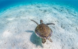 Tartaruga, subaquática, mar, água desobstruída