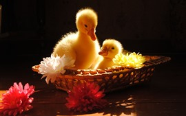 Preview wallpaper Two ducklings, flowers, basket, black background