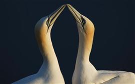 Aperçu fond d'écran Deux Gannets, oiseaux, bec