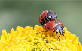 Preview wallpaper Two red ladybugs, yellow flower