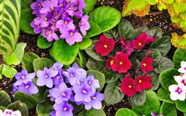 Violetas, flores moradas y rojas.