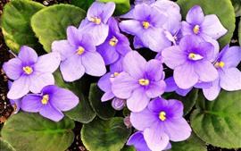 壁紙のプレビュー スミレ、紫の花