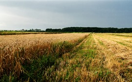 Wheat field, Ukraine