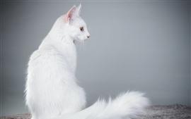 Белый Кот вид сзади, пушистый, хвост