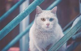 Gato branco, olhos azuis e amarelos, escadas