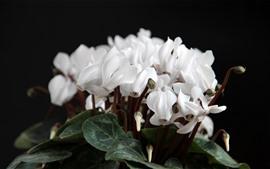 Preview wallpaper White cyclamen flowers