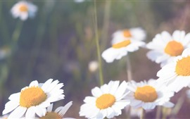 Preview wallpaper White daisies, petals, hazy