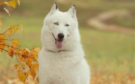 Perro husky blanco, brumoso