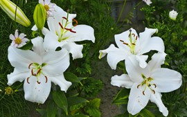 Preview wallpaper White lilies