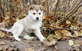 Preview wallpaper White puppy, leaves, twigs, autumn