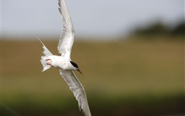 Preview wallpaper White seagull, flight, wings