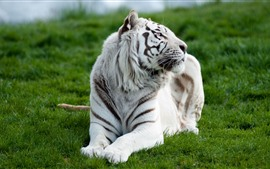 Preview wallpaper White tiger front view, rest, grass