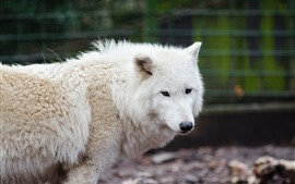 Preview wallpaper White wolf, zoo