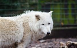 Белый волк, зоопарк