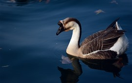 Preview wallpaper Wild goose, lake, water