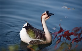 Preview wallpaper Wild goose, pond, water